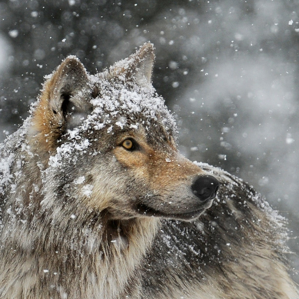 Life of the Wolf Program Photo