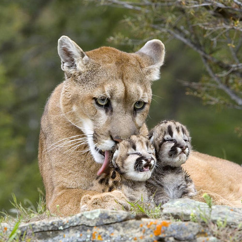 Mountain-Lions