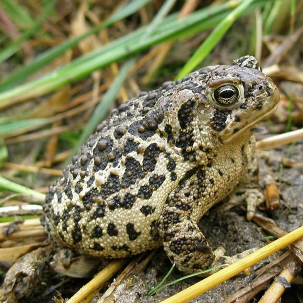 Wyoming-Toad